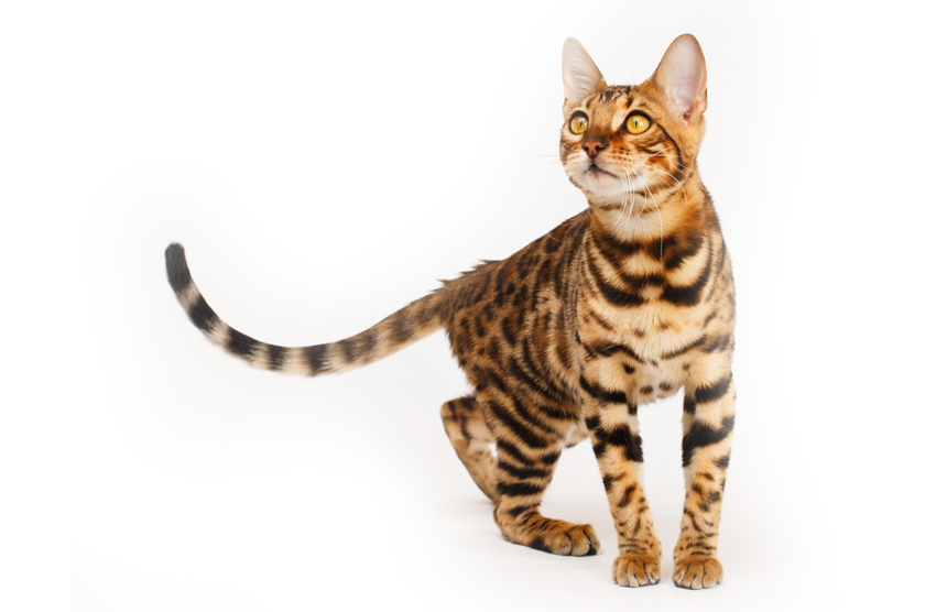 Bengal Cats Kittens For Sale Scotland