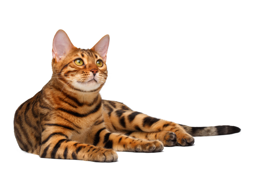 Bengal Cat For Sale Scotland