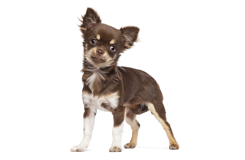 Chihuahua Personality and Temperament