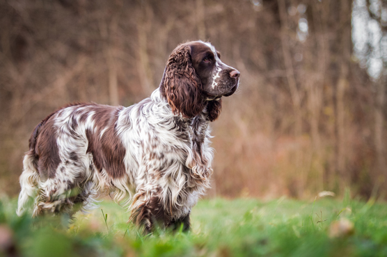 English Springer Spaniel Puppies for Sale in Scotland