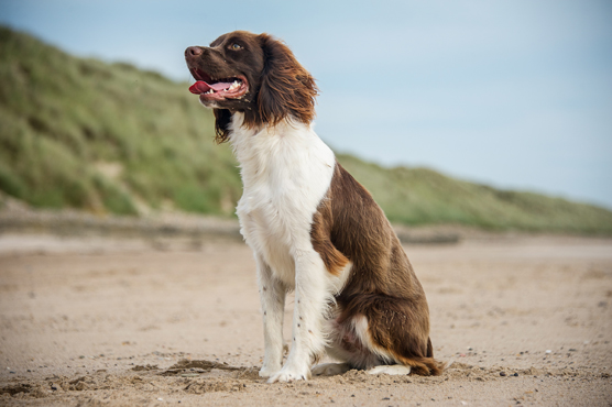 English Springer Spaniel Dogs for Sale in Scotland
