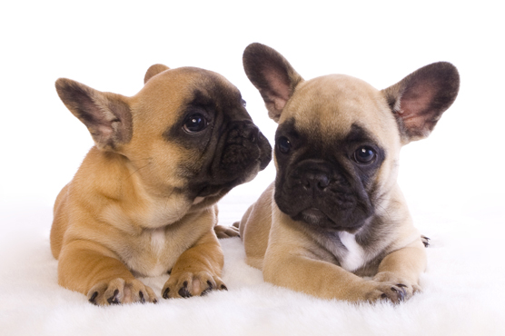 French Bulldogs Puppy Training