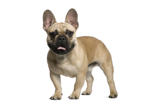 French Bulldogs Personality