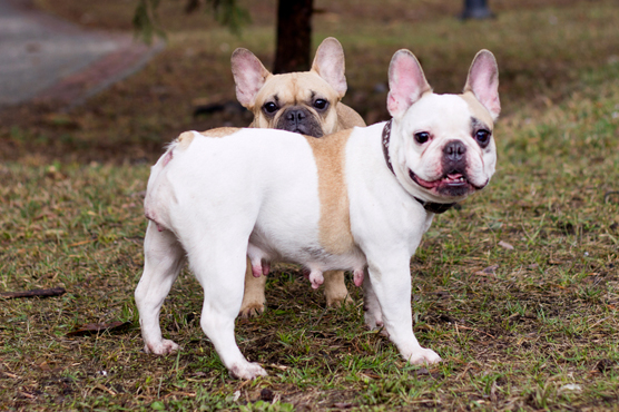 French Bulldogs Puppy Health Problems