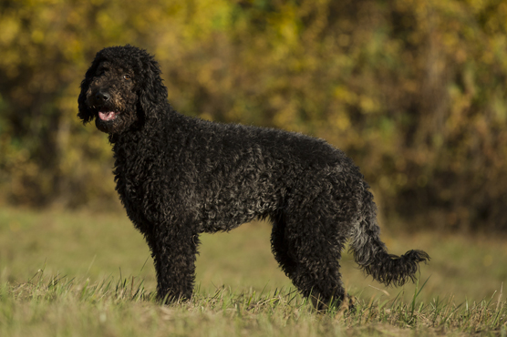 Labradoodle Puppies for Sale in Scotland