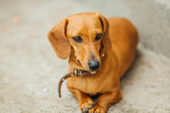 Miniature Dachshund Dogs for Sale