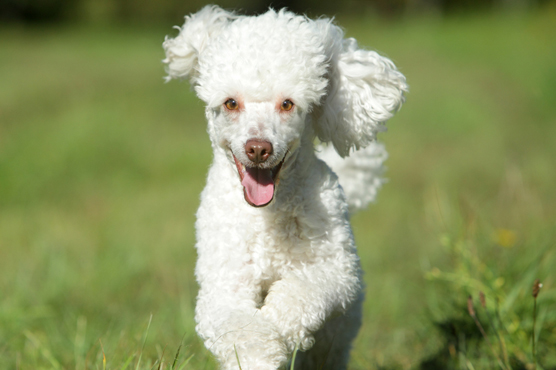 Miniature Poodles Puppies For Sale In Scotland Glasgow