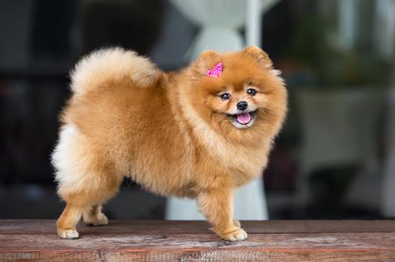 Pomeranian Puppies for Sale in Scotland, Glasgow, Edinburgh