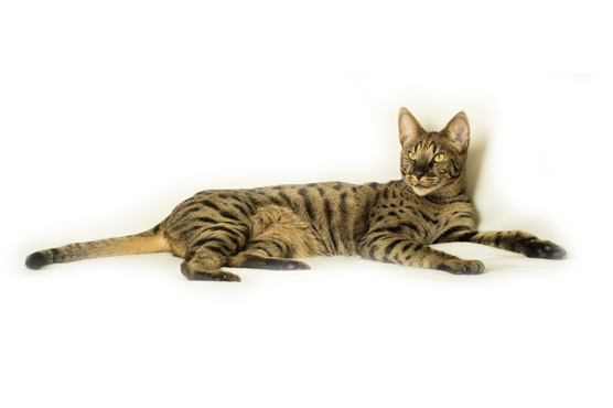 ... Savannah Cats for Sale in Glasgow