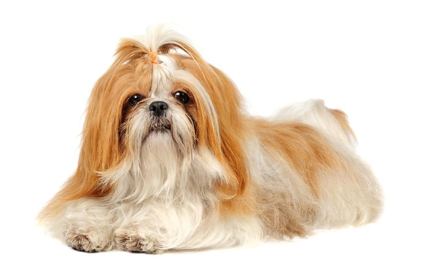 Shih Tzu Puppies For Sale In Scotland Glasgow Edinburgh Petsyoulove