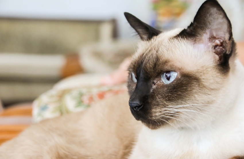 Rescue Siamese Cats Scotland