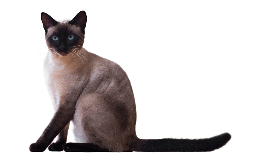 Siamese Cats Kittens For Sale In Scotland Glasgow