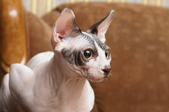 Sphynx Cats for Sale in Scotland