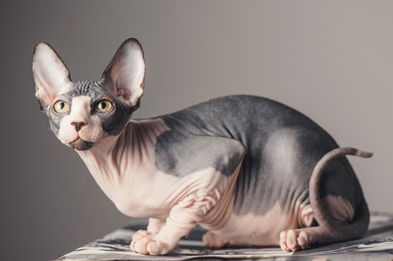 Sphynx Cats for Sale in Glasgow