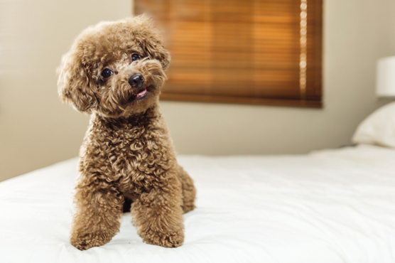 Toy Poodle Dogs for Sale