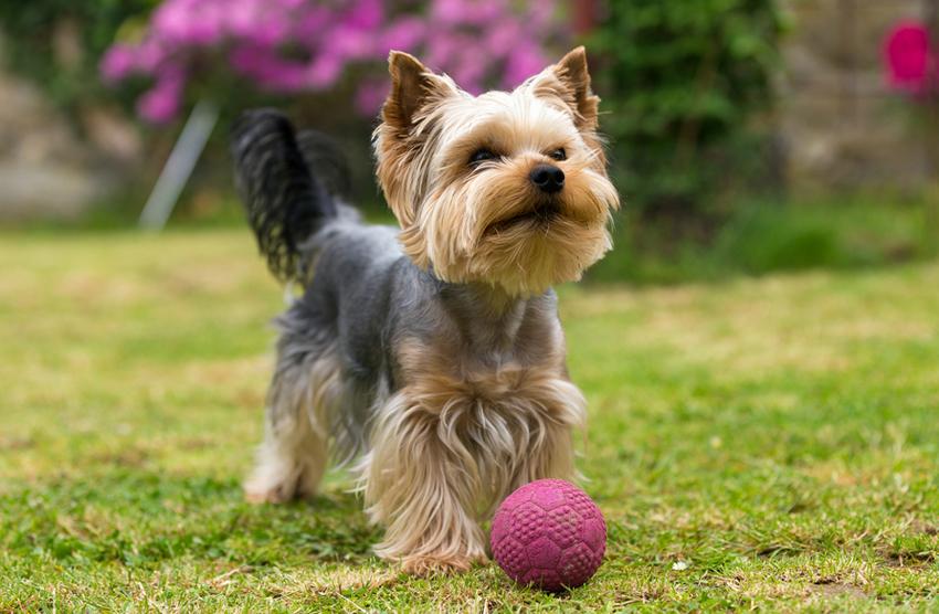 yorkshire terrier temperament