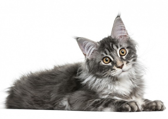 Maine Coon Cat Temperament
