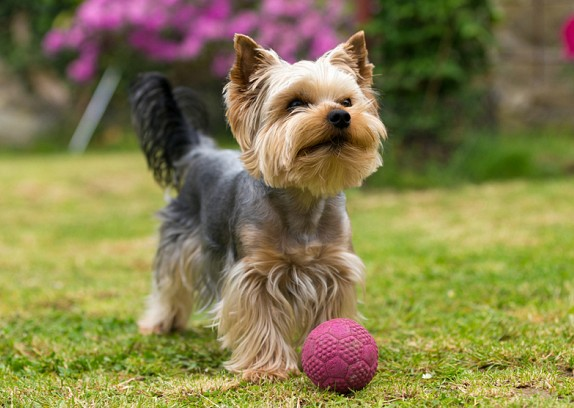 yorkshire terrier characteristics yorshire terrier s to girls 9527