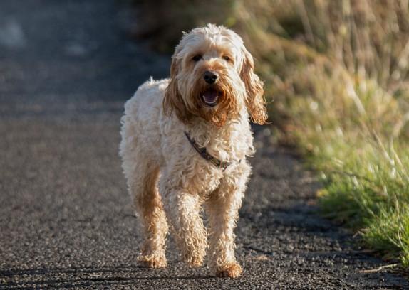 Cockapoo Dog For Sale Scotland
