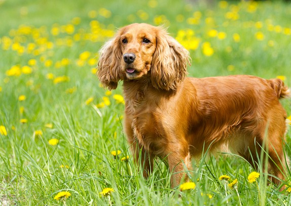 Cocker Spaniel Puppies For Sale In Scotland Glasgow