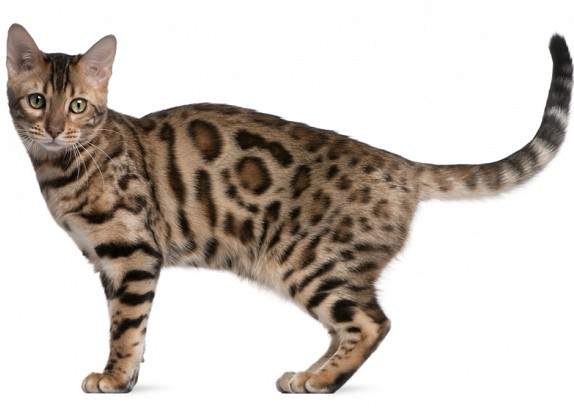 Bengal Cat Health